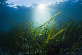 Seagrass Photographic Print by Reinhard Dirscherl