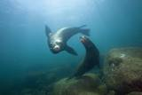 Californian Sea Lion (Zalophus Californianus) Photographic Print by Reinhard Dirscherl