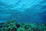 Harem Flag Basslet School above a Coral Reef (Pseudanthias Squamipinnis) Reproduction photographique par Reinhard Dirscherl
