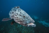 Potato Grouper (Epinephelus Tukula) Photographic Print by Reinhard Dirscherl