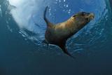 South African Fur Seal Swimming (Arctocephalus Pusillus Pusillus), South Africa. Reprodukcja zdjęcia autor Reinhard Dirscherl