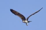 Osprey Takes Off Papier Photo par Hal Beral