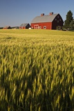 Red Barn in Field of Harvest Wheat Photographic Print by Terry Eggers