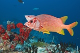 Longjawed Squirrelfish (Sargocentron Spiniferum) Photographic Print by Reinhard Dirscherl