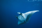Manta Ray with Remora (Manta Birostris) Photographic Print by Reinhard Dirscherl