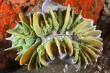 Commensal Bubble Coral Shrimp (Vir Philippinensis) in Bubble Coral (Plerogyra), Lembeh Strait, Nort Reproduction photographique par Reinhard Dirscherl