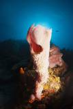 Tube Sponge on a Coral Reef Photographic Print by Reinhard Dirscherl