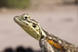Female Common Agama Head (Agama Agama) Reproduction photographique par Reinhard Dirscherl