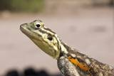 Female Common Agama Head (Agama Agama) Photographic Print by Reinhard Dirscherl