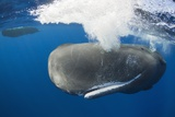 Sperm Whale (Physeter Macrocephalus) Photographic Print by Reinhard Dirscherl