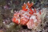 Lesser Red Scorpionfish (Scorpaena Notata), Tamariu, Costa Brava, Mediterranean Sea, Spain Photographic Print by Reinhard Dirscherl