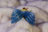 Blue Christmas Tree Worm (Spirobranchus Giganteus) Photographic Print by Reinhard Dirscherl