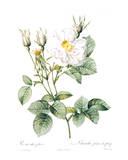 Redoute Rosa Alla Foliacea Posters by Pierre-Joseph Redouté