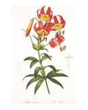 Redoute Lilium Superbum Prints by Pierre-Joseph Redouté