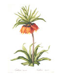 Redoute Fritillaria Imperialis Prints by Pierre-Joseph Redouté