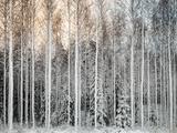 Teemu Tretjakov - Snowy Tees in a Row - Fotografik Baskı