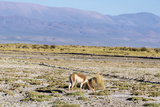 Vicuna in Salinas Grandes in Jujuy, Argentina. Photographic Print by Anibal Trejo