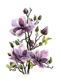 Drawing Branch of a Blossoming Magnolia . Paper, Water Color, H Print by  vodolej