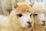Two Fluffy Alpacas Impressão fotográfica por Denis Tabler