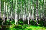 Summer Birch Forest Photographic Print by  Nobilior