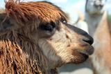 Cute Alpaca Fotografisk tryk af  olena