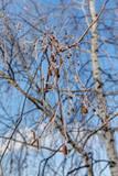 Winter Birch Photographic Print by Maslov Dmitry