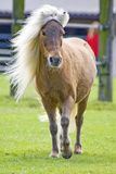 Mini Shetland Pony IV Photographic Print by Dirk Schäfer