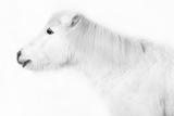 Weisses Pony Vor Weissem Hintergrund Photographic Print by  purplequeue