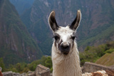 Alpaca at Machu Picchu Fotografisk tryk af Gail Johnson