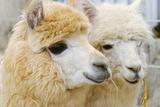 Two Fluffy Alpacas Fotografisk tryk af Denis Tabler