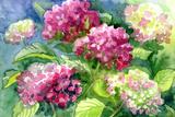 Drawing Blossoming Hydrangeas . Paper, Water Color Giclée-Druck von  vodolej