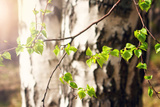 New Birch Leaves Photographic Print by  candy1812
