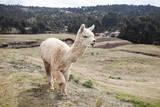 Alpaca in Perù Mentre Attraversano Fotografisk tryk af Claudio Quacquarelli