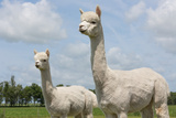 Two Peruvian Alpacas in a Dutch Animal Park Fotografisk tryk af kruwt