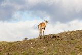Llama Torres Del Paine - Chile Photographic Print by  robertprice87