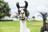 Lama in Farm Photographic Print by  epstock