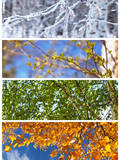 Collage. Birch Tree. Four Seasons. alendar Photographic Print by  katvic