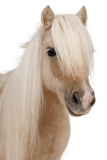 Palomino Shetland Pony, Equus Caballus, 3 Years Old Photographic Print by Eric Isselée