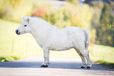 Cute White Shetland Pony Standing on the Road, Conformation. Photographic Print by Alexia Khruscheva