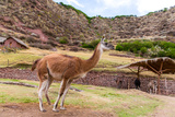 Peruvian Llama. Farm of Llama,Alpaca,Vicuna in Peru Photographic Print by  vitmark