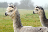Two Gray Alpacas. They Resemble a Small Llama in Appearance Photographic Print by  acceleratorhams