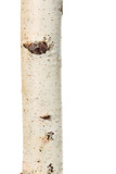 Birch Trunk Photographic Print by  paleka