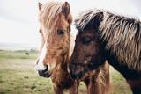 Icelandic Horses Photographic Print by Andrew Bayda