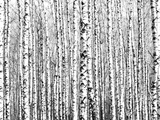 Spring Trunks of Birch Trees Black and White Photographic Print by Elena Kovaleva