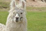 Llama Photographic Print by  mauriciogallego