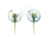 Couple Od Dandelions Kunst af  okalinichenko