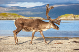 Reindeer Photographic Print by  martinhlavacek79