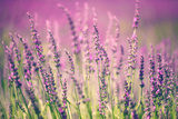 Lavender Flower Photographic Print by  robsonphoto