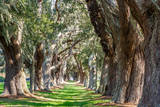 Sunny Green Path between Oak Trees Photographic Print by  dbvirago