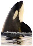Killer Whale Standup Cardboard Cutouts